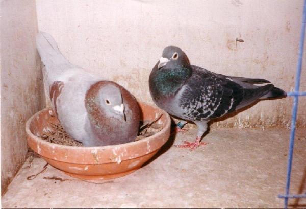 Deze duiven heb ik gekregen van wijlen Toni Kern uit Middelharnis voor het opvangen van een jonge duif.Een super koppel.
